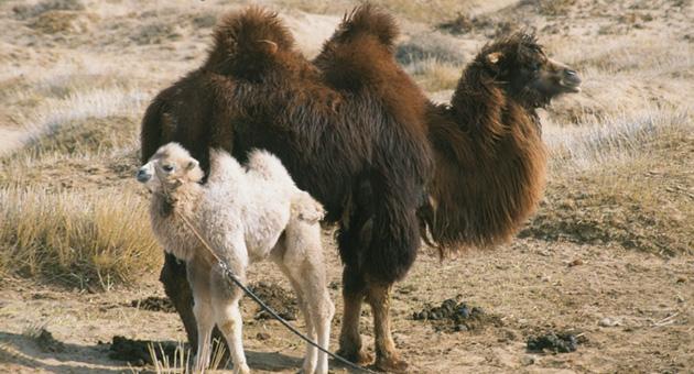 Historien om den gråtende kamel